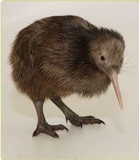 Kiwi New-Zealand